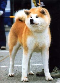 http://www.akita-inu.ru/image/aki2.jpg